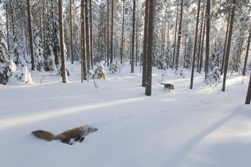 En död räv i snön. Drivande hunden anländer till passet.