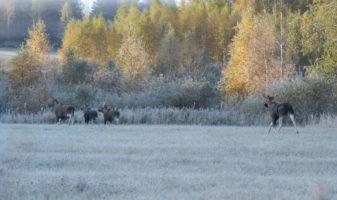 Tjuren följer en kalvflock.