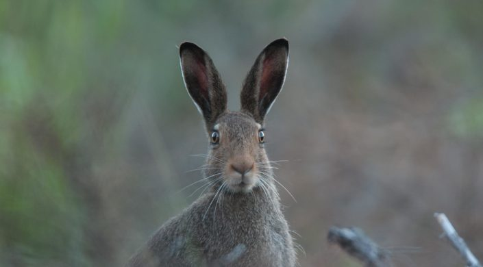 Kesäpukuinen metsäjänis katsoo pää kohti kameraa.