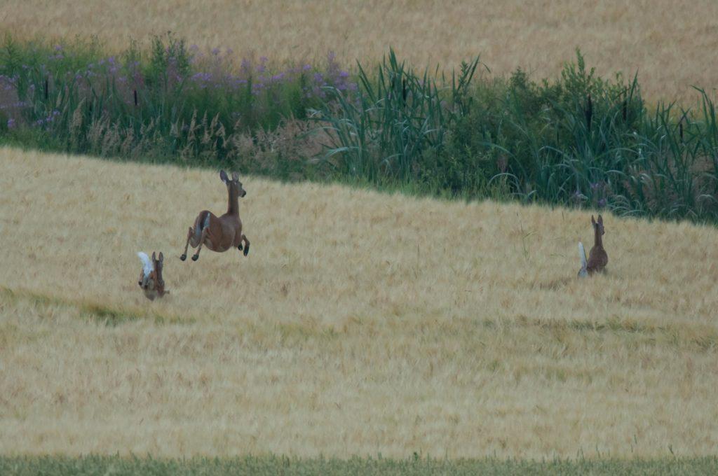 Tre vitsvanshjortar på fält.