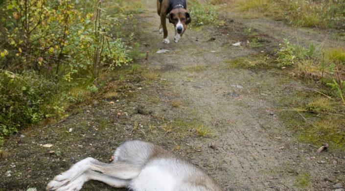 Ajokoira saapuu jäniskaadolle.