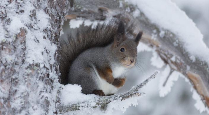 Talvipukuinen orava istuu lumisella oksalla.