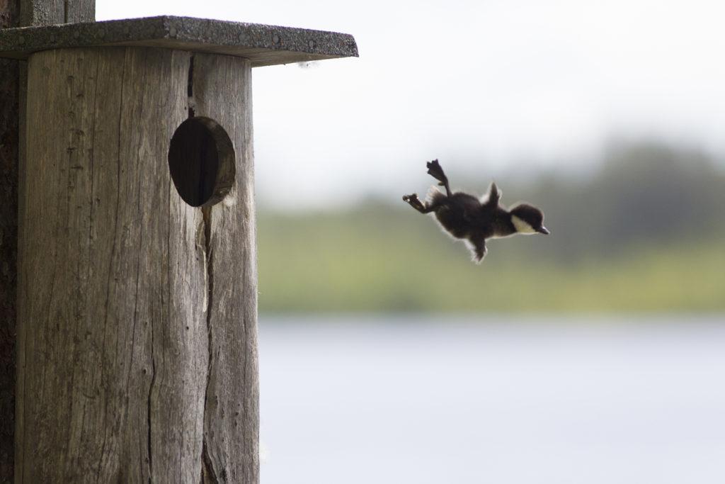 Telkän poikanen hyppää pöntöstä