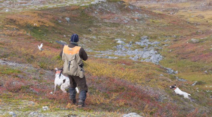 Riekkoseisonta. Toinen koirista ryntää perään. Dalripa stående. En av hundarna rusar efter fågeln.