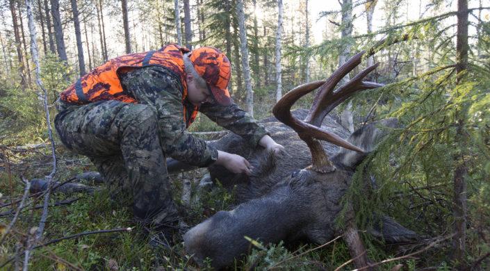 Metsästäjä pistää hirvisonnia. Jägaren tappar ur blodet från älgtjuren.