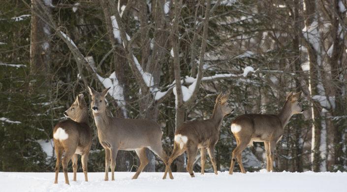 Neljä metsäkaurista. Kuvassa näkyy sekä naaraita että uros.