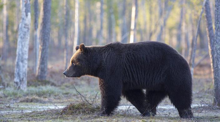 Björnen går i skogen.