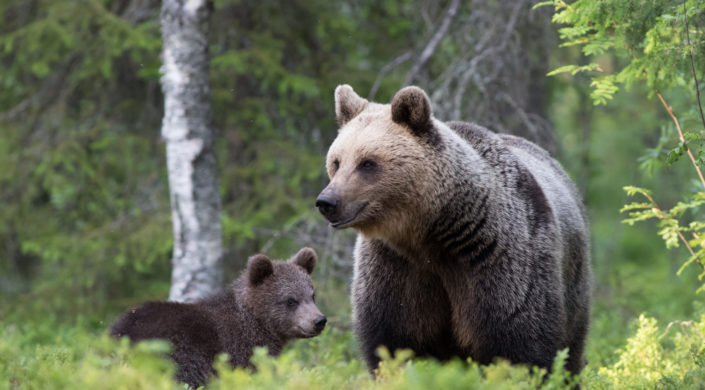 Karhuemo ja pentu sulan maan aikaan metsässä.