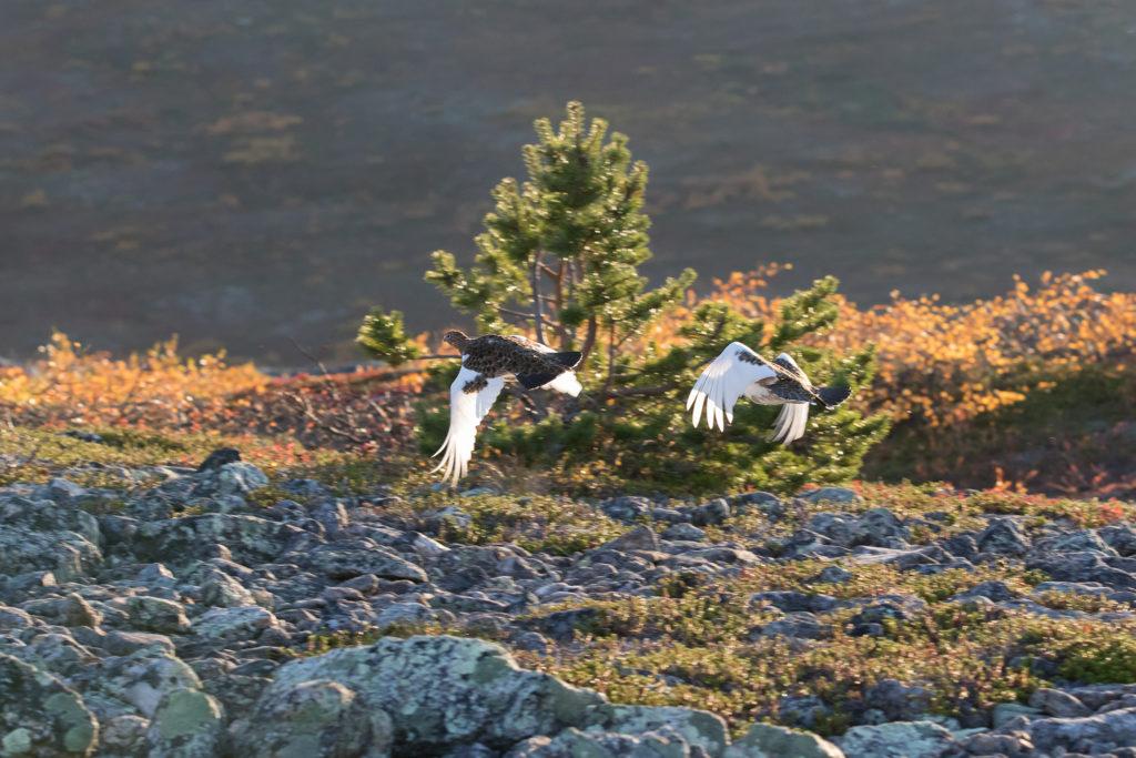 Dalriporna flyger i ett landskap med höstfärger