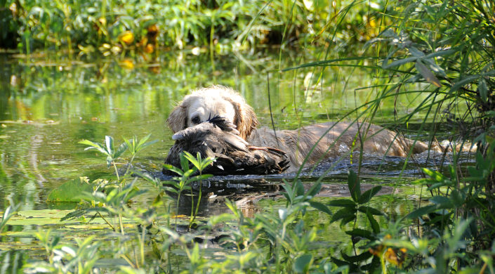 Koira noutaa ammuttua vesilintua