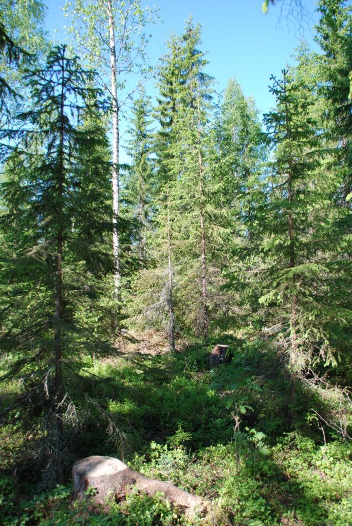Eri-ikäisrakenteinen metsä.