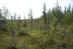 metsän ja suon välinen vaihettumisvyöhyke