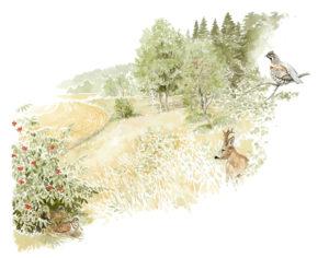 piirroskuva pellonreinasta, jossa metsäkauris ja pyy
