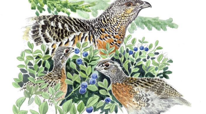 Koppelo ja koppelonpojat syömässä mustikoita. Tjäder höna med ungarna äter blåbär.