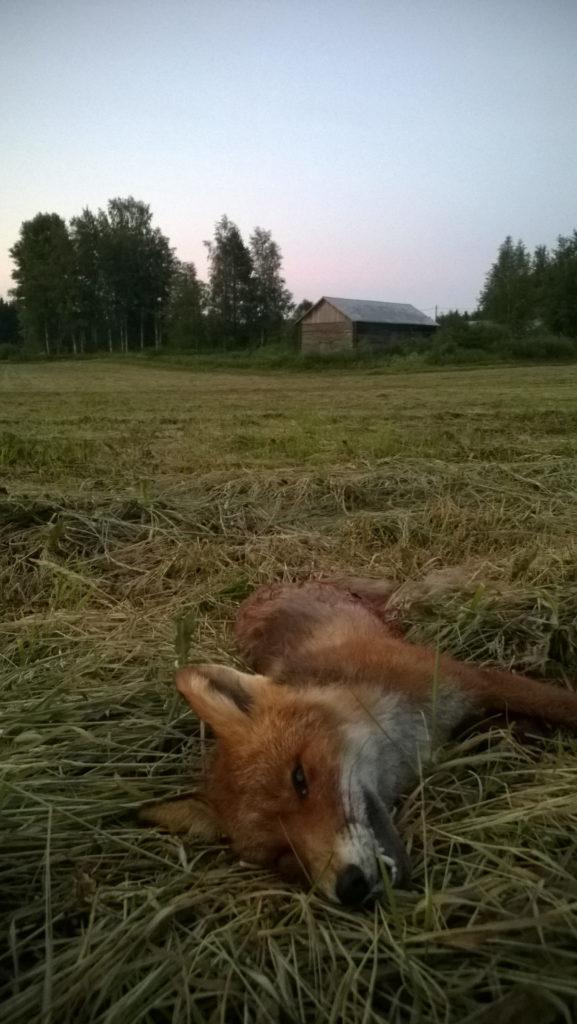 Kuollut kettu pellolla