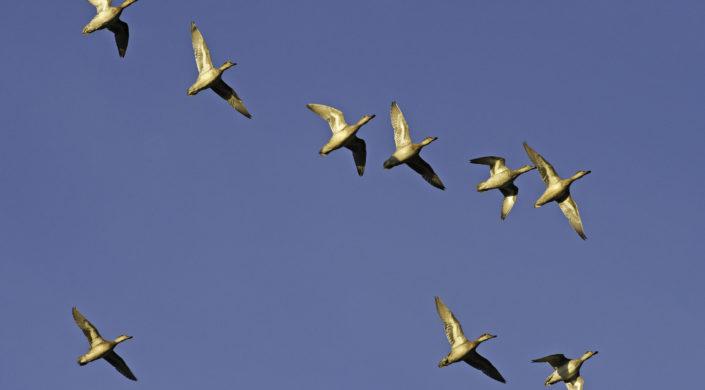 Vesilintuparvi lennossa kuvattuna altapäin. Flock av sjöfåglar i flyg.