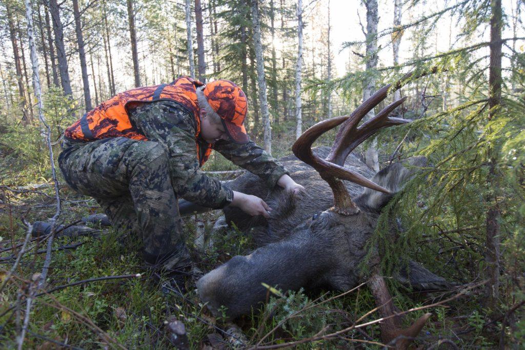 Jägaren tappar ur blodet från älgtjuren.
