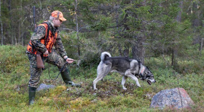 Nuori metsästäjä laskee hirvikoiransa irti.