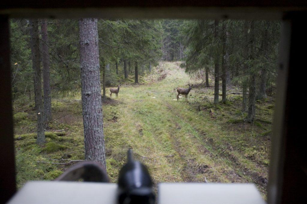 Valkohäntäpeurat ruokintapaikalla, kuvaaja kyttäyskopissa yläviistossa peuroihin nähden.
