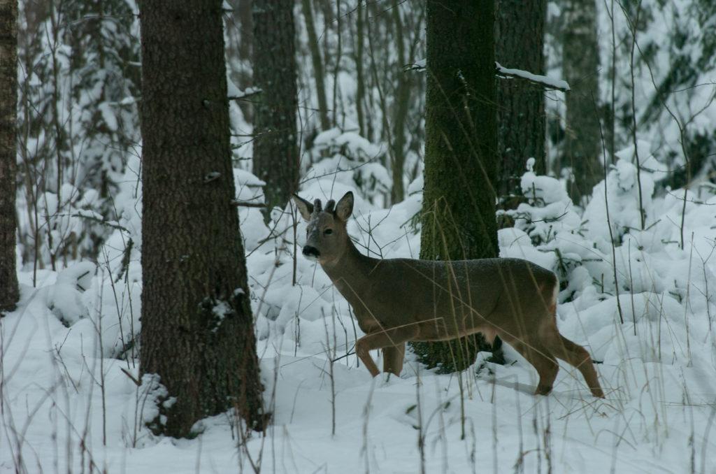 Metsäkaurispukki lumisessa metsässä