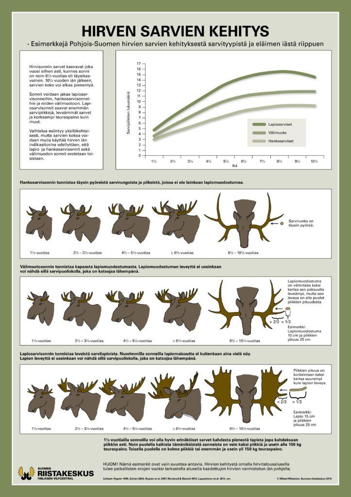 Juliste hirven sarvien kehityksestä Pohjois-Suomessa