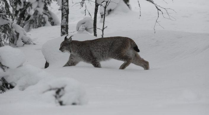 Ilves kävelee lumisessa metsämaisemassa vasemmalle.