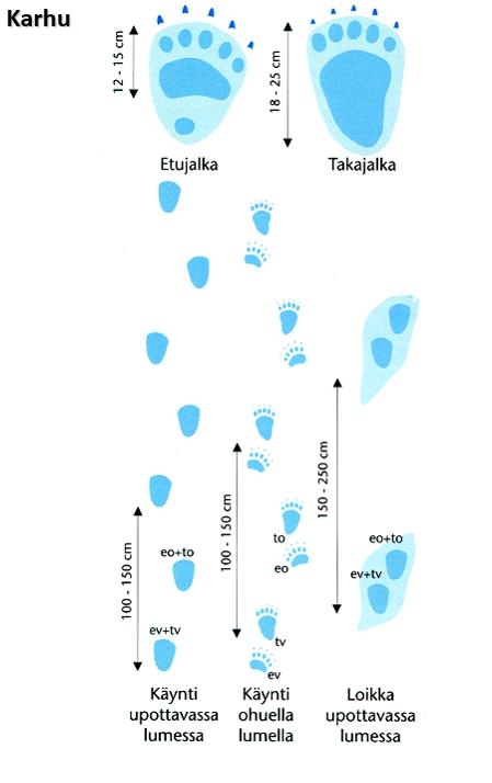 Karhun Etujalan jälki on 12-15 cm pitkä, takajalan jälki 18-25 cm pitkä. Kulkutyyleinä käynti ja loikka.
