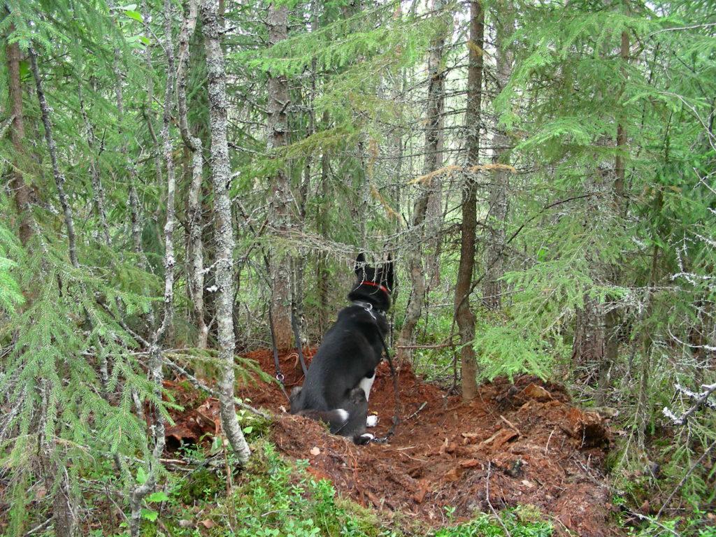 Metsästyskoira istuu karhun päivämakuupaikalla.