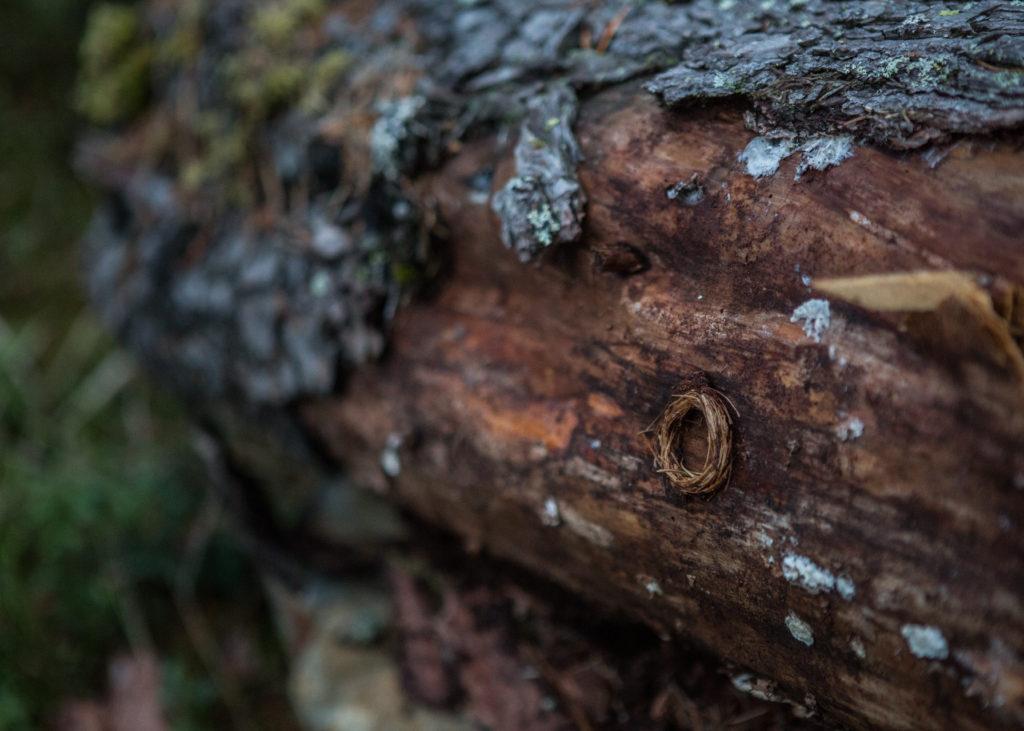 Kantojäärän toukan kotelokehto puun rungolla.