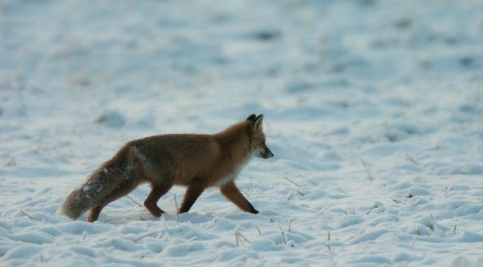 Kettu kävelee lumisella pellolla.