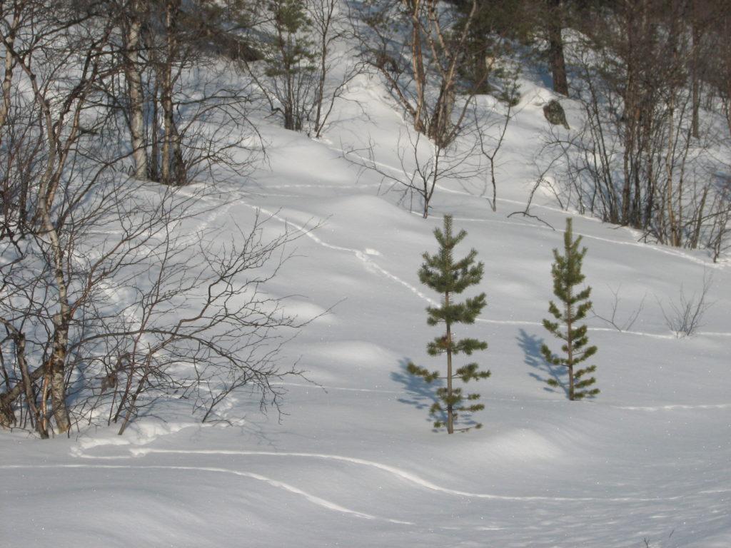 Linnunjälkiä lumisessa rinteessä.