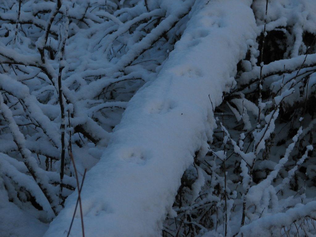 Jälkiä kaatuneella puunrungolla.
