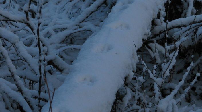 Ketun jäljet kaatuneen puun rungon päällä