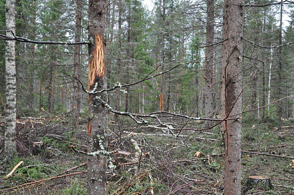 Rungossa näkyvät selvät puunkuoren syöntijäljet.