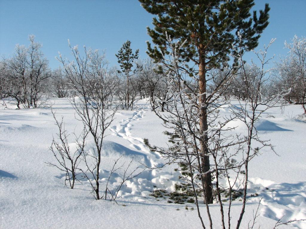 Hirvenjälkiä syvässä lumessa.