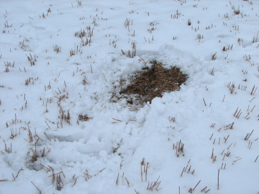 Lumi on sulanut kauriin makuupaikasta.