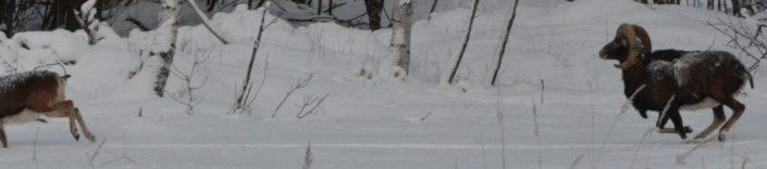 Muflonit lumisessa maisemassa.