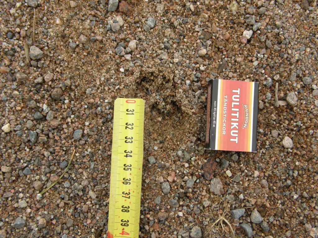 3-4 cm pitkä villisian porsaan jälki hiekassa.