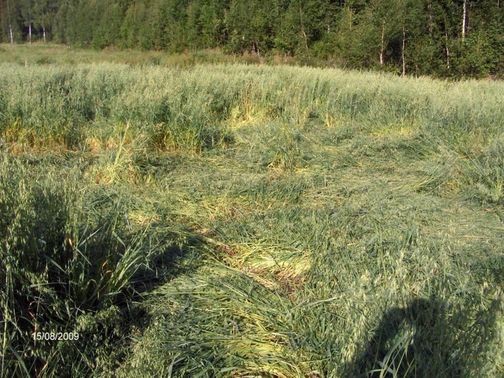 Viljapelto on lakoontunut ja sato on tuhoutunut.