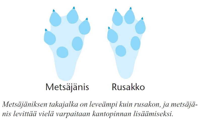 Piirroskuva metsäjäniksen ja rusakon jälkien eroista. Metsäjäniksen takajalka on leveämpi ja se levittää varpaitaan kantopinnan lisäämiseksi.