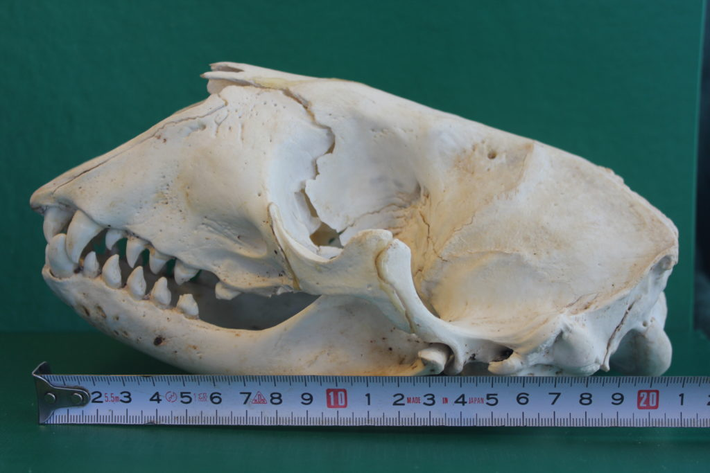 Harmaahylkeen kallo, pituus 21 cm.