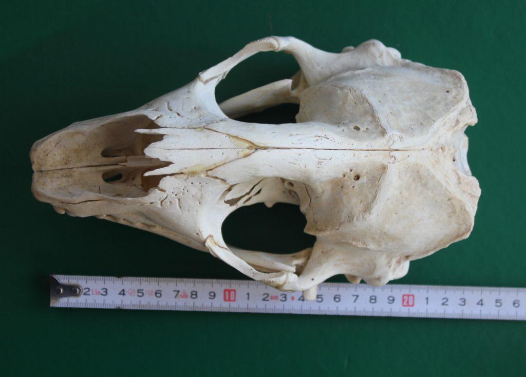 Harmaahylkeen kallo, pituus 24 cm.