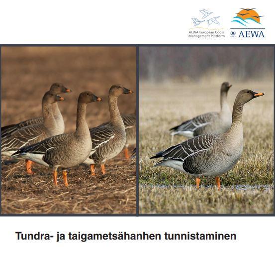 Tundra- ja taigametsähanhen tunnistaminen